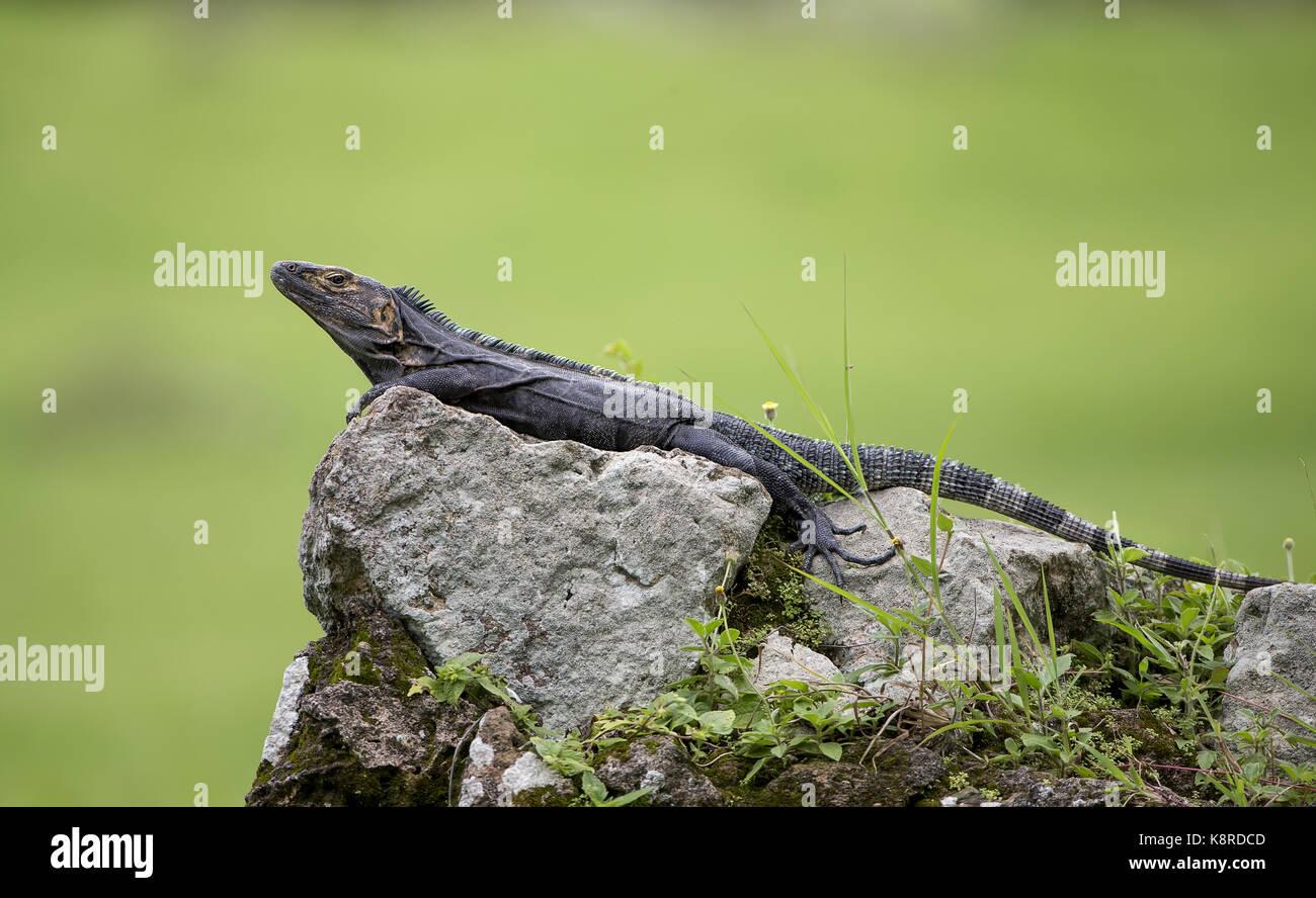 Schwarz Stacheligen-tailed Iguana (Ctenosaura Imilis), männlich, Panama, Juli Stockbild