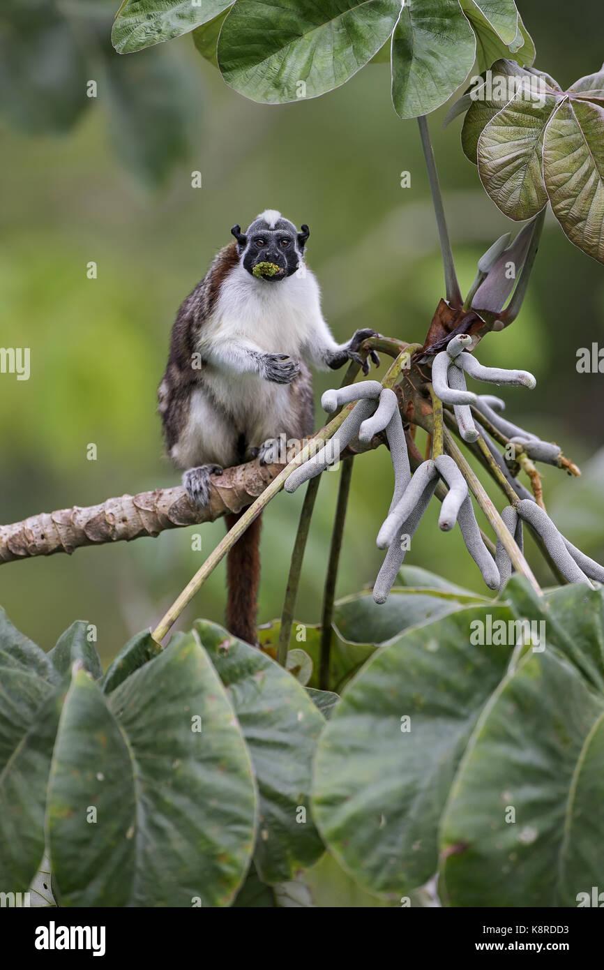 Geoffroy's Tamarin (Saguinus geoffroyi), Fütterung auf cecropia Baum Obst, Gamboa, Panama, Juli Stockbild