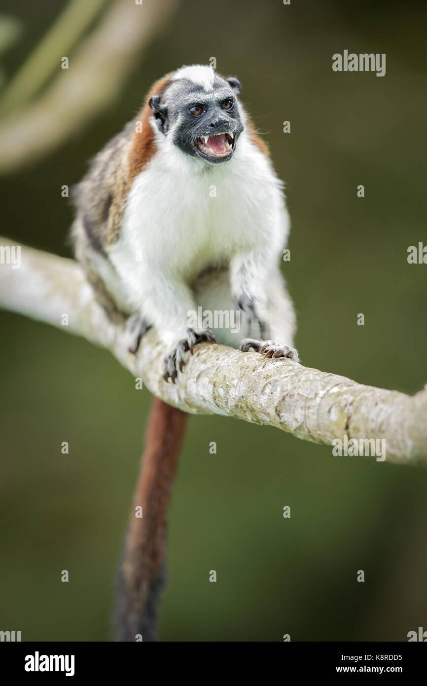 Geoffroy's Tamarin (Saguinus geoffroyi), Gamboa, Panama, Juli Stockbild