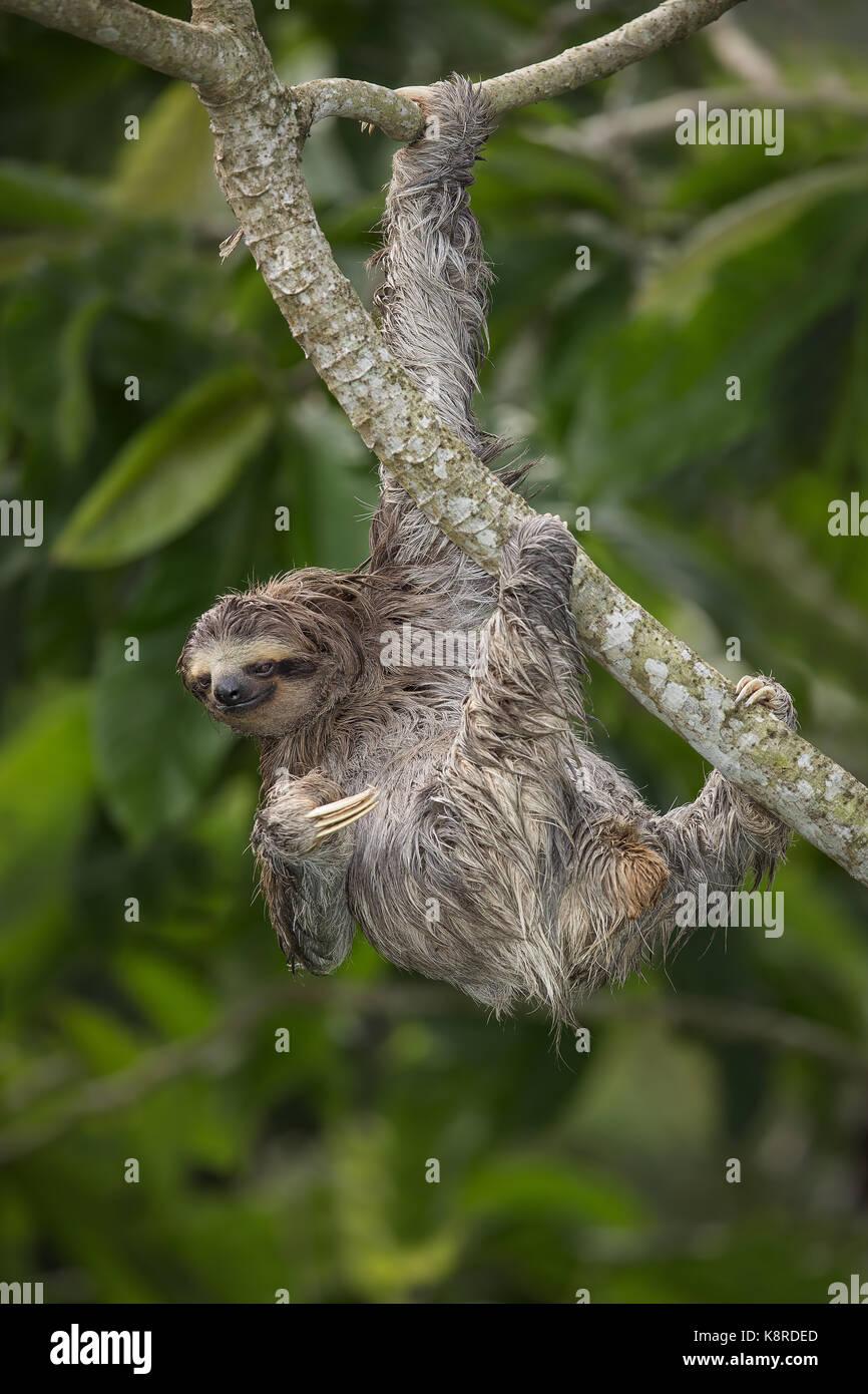 Braun - Drei throated-toed Sloth (Bradypus variegatus), Panama, Stockbild
