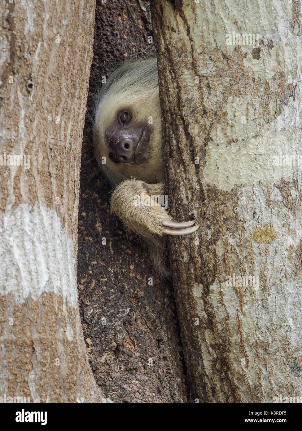 Hoffmann Zwei-toed Sloth (Choloepus hoffmanni), Panama, März Stockbild