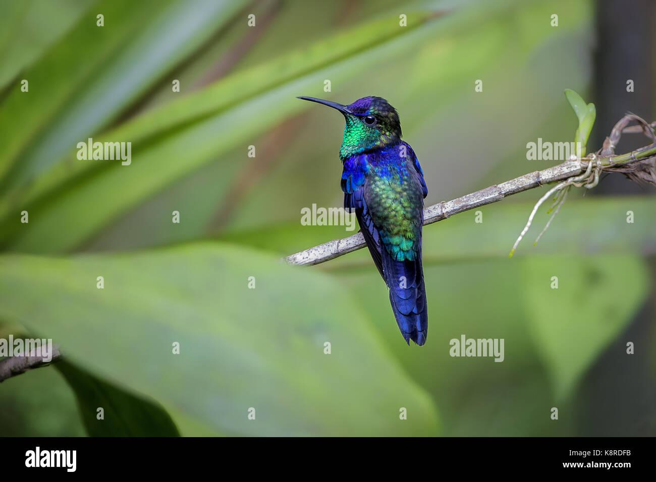 Gekrönt (Thalurania Woodnymph Colombica), männlich, Cerro Azul, Panama, Juni Stockbild