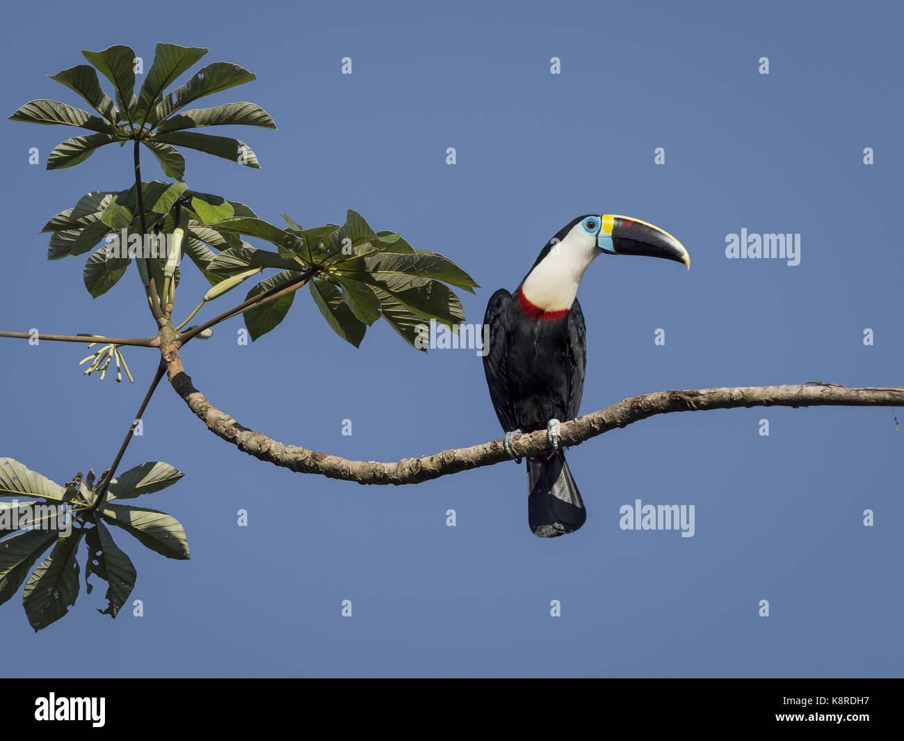 White-throated Toucan (Ramphastos tucanus), auf cecropia tree branch, Mato Grosso, Brasilien, Juni Stockbild