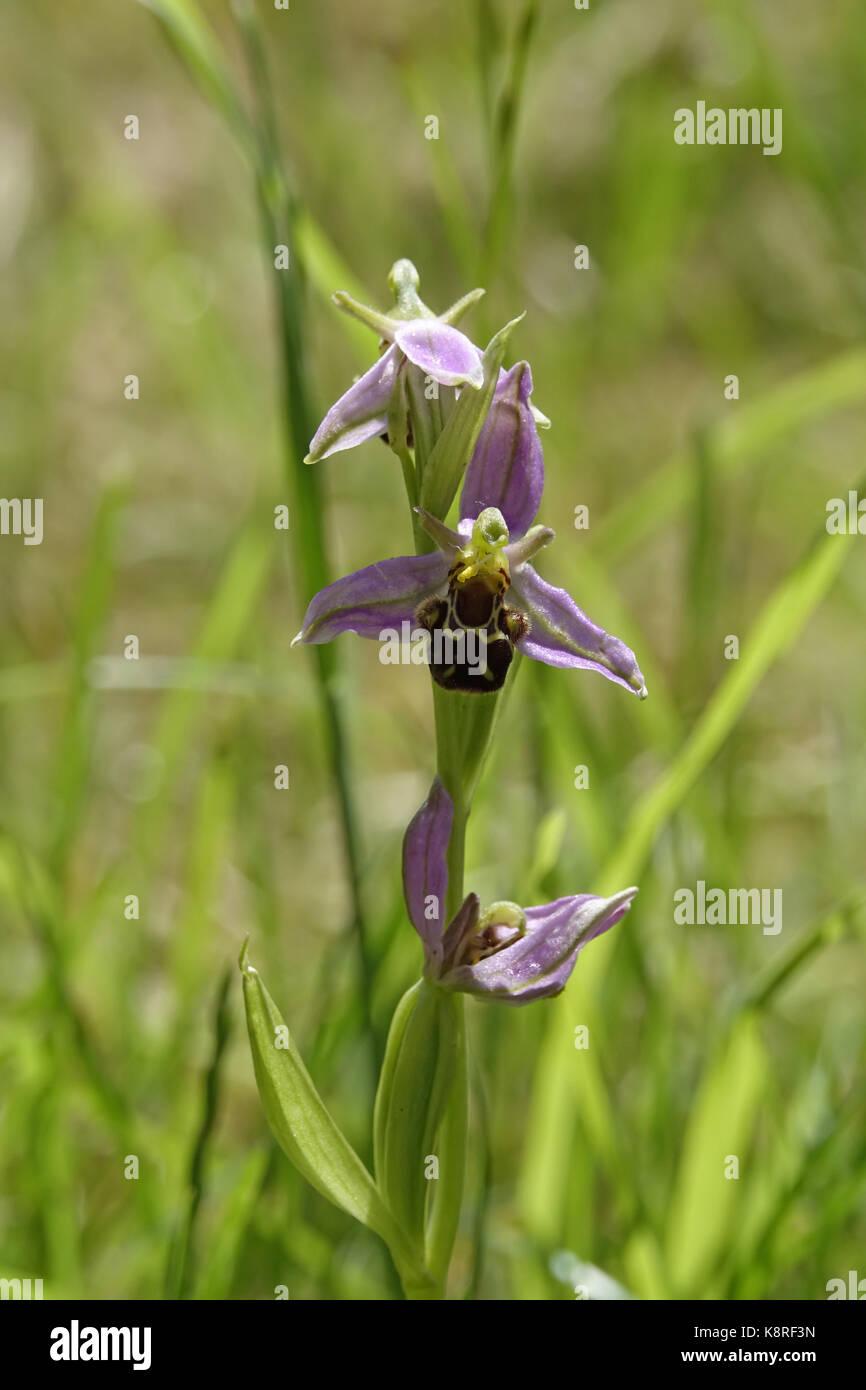 Biene Orchideen Stockbild