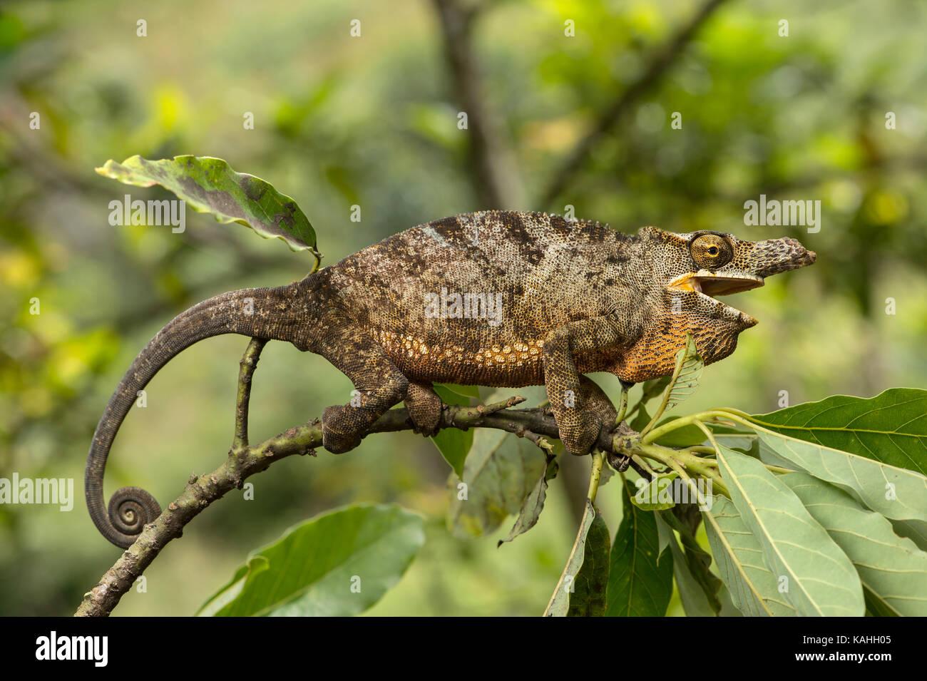 Chameleon (furcifer Bifidus), männlich zwischen Blättern auf Zweig, endemisch in Madagaskar, Andasibe Stockbild