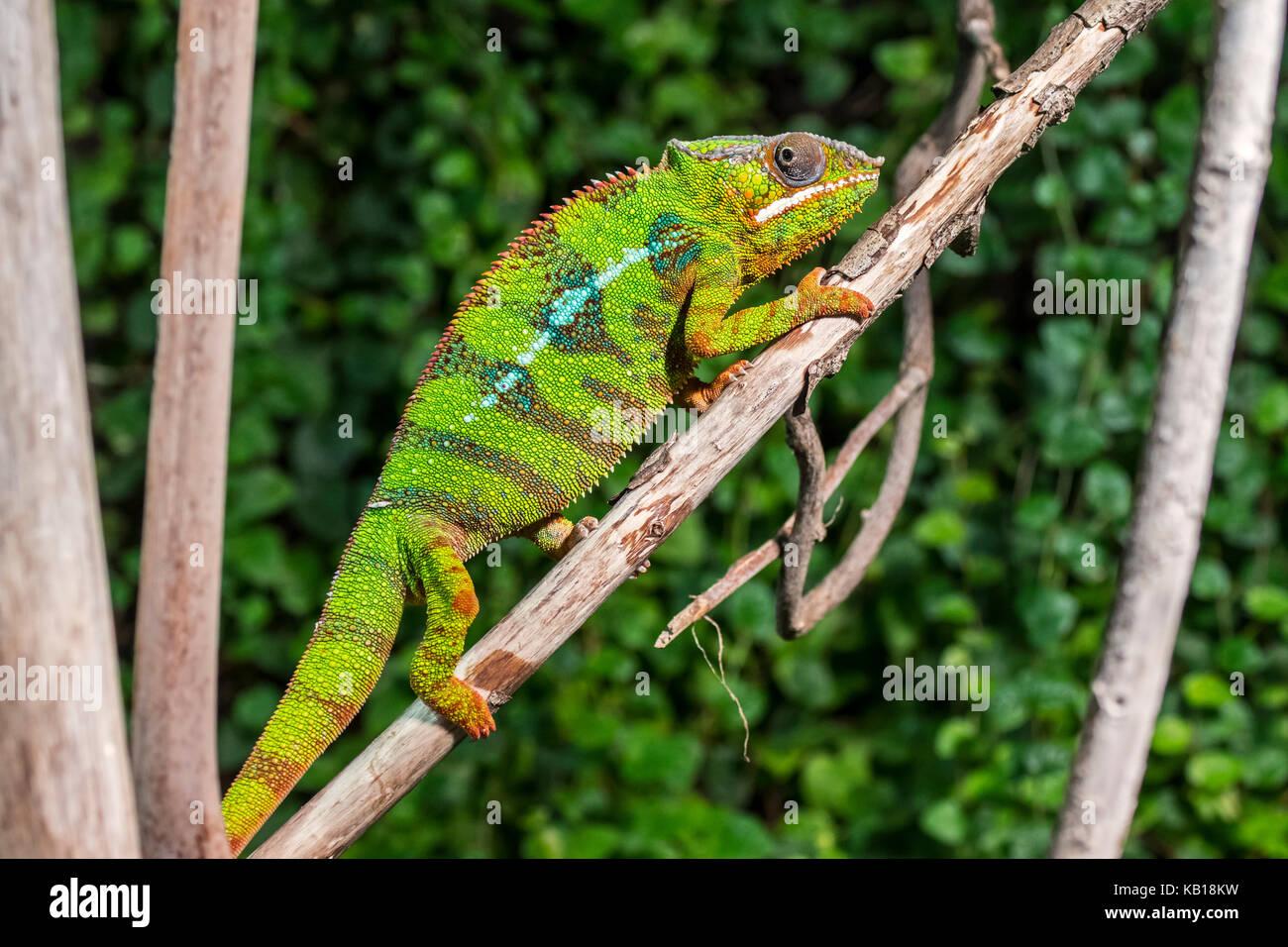 Panther chameleon (Furcifer pardalis) im Baum, beheimatet in Madagaskar Stockbild
