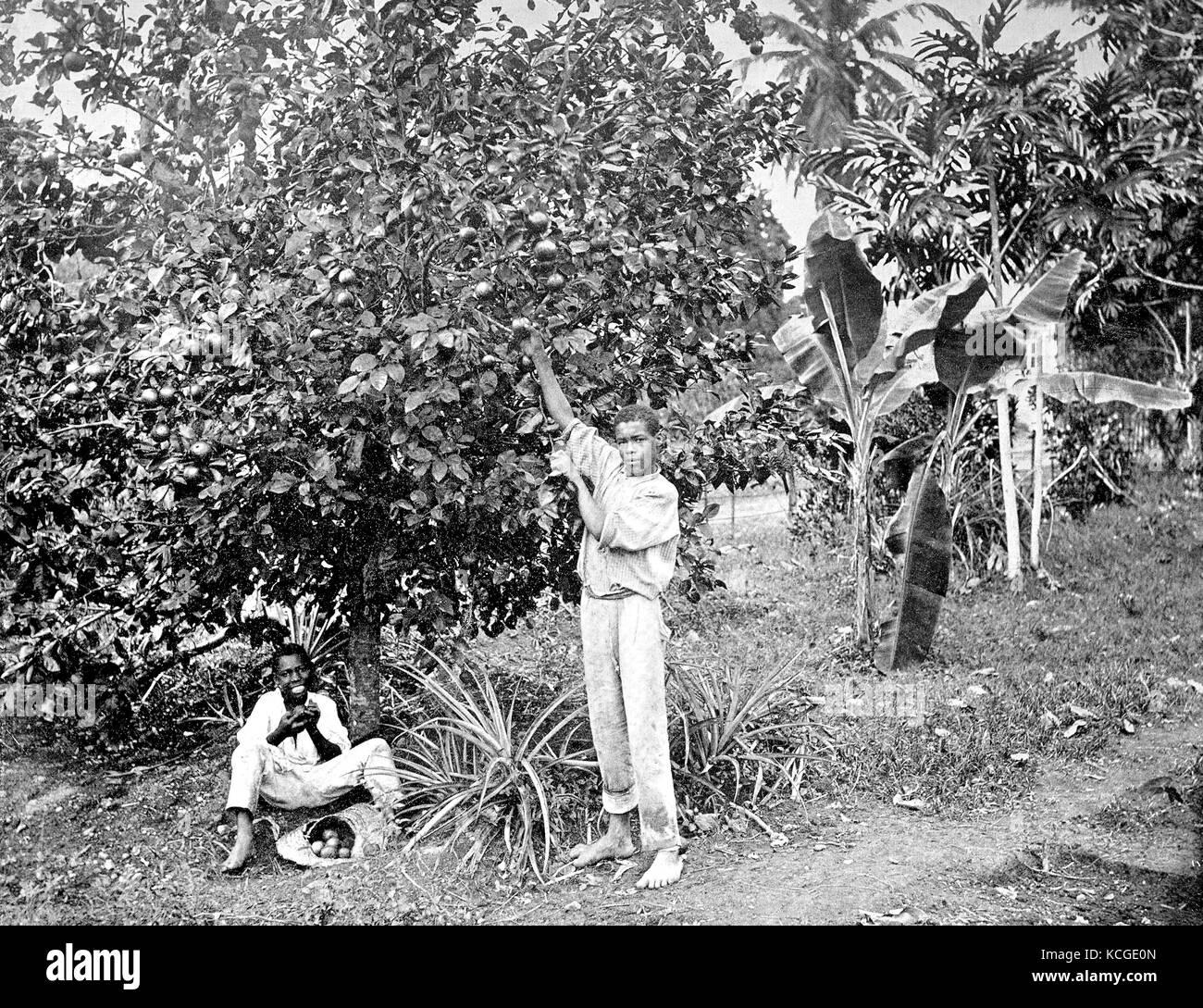 Jamaika, zwei Männer, die Ernte von Orangen, Orange, digital verbesserte Reproduktion einer historischen Foto Stockbild