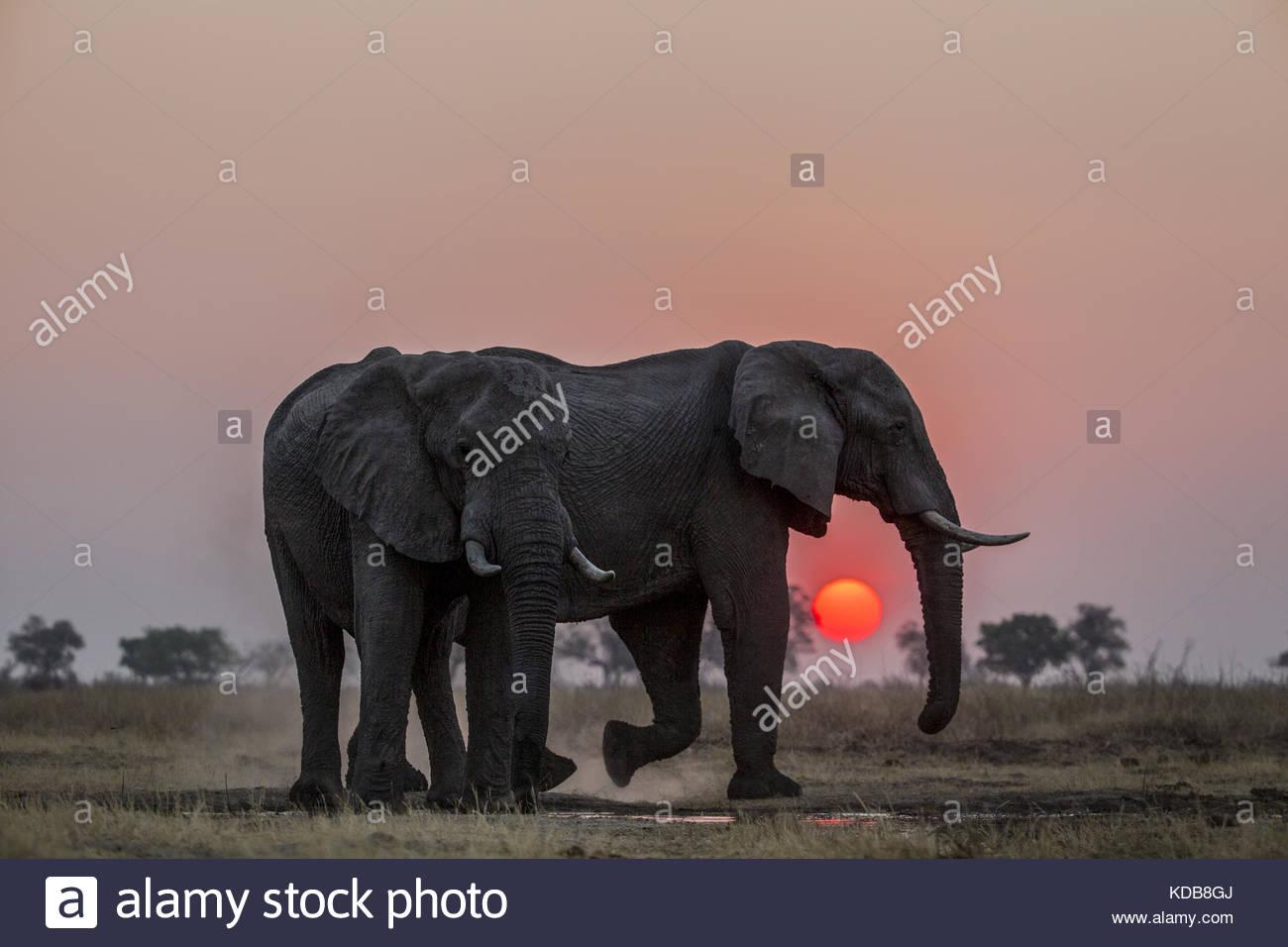 Ein paar Elefanten, loxodonta Africana, Staub, sich selbst als die Sonne untergeht. Stockbild