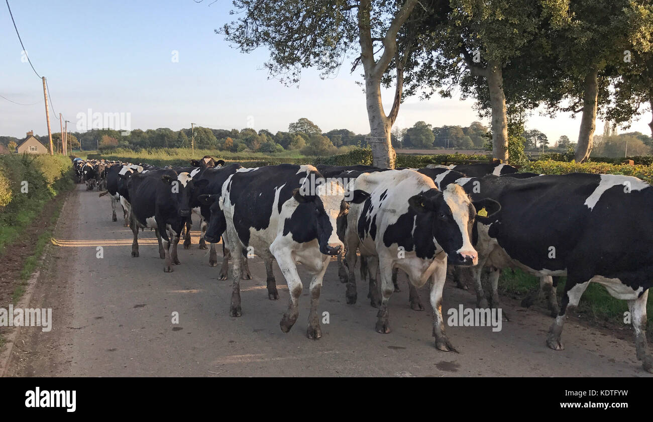 in,a,Lane,gotonysmith,Dairy,Cattle,Diary,Dairy