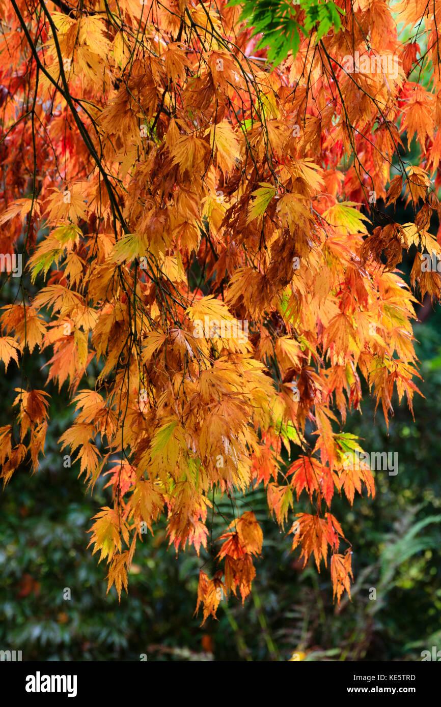 Leuchtend rot, orange und Gelb im Herbst Farbe des japanischen Ahorn, Acer palmatum 'heptalobum Elegans' Stockbild