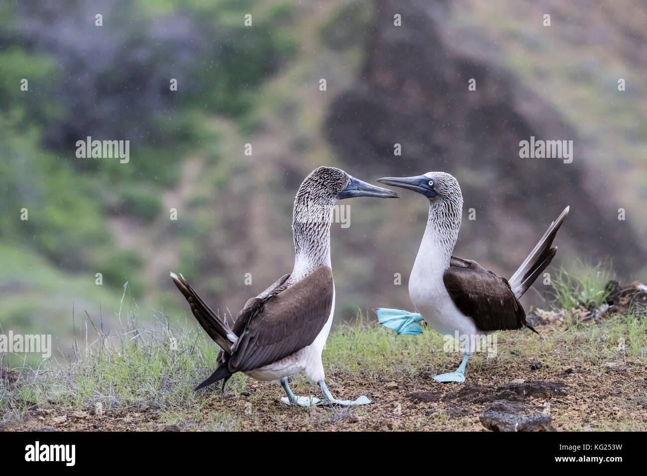 Blue-footed Booby (Sula nebouxii) Paar in der Balz auf der Insel San Cristobal, Galapagos, Ecuador, Südamerika Stockbild