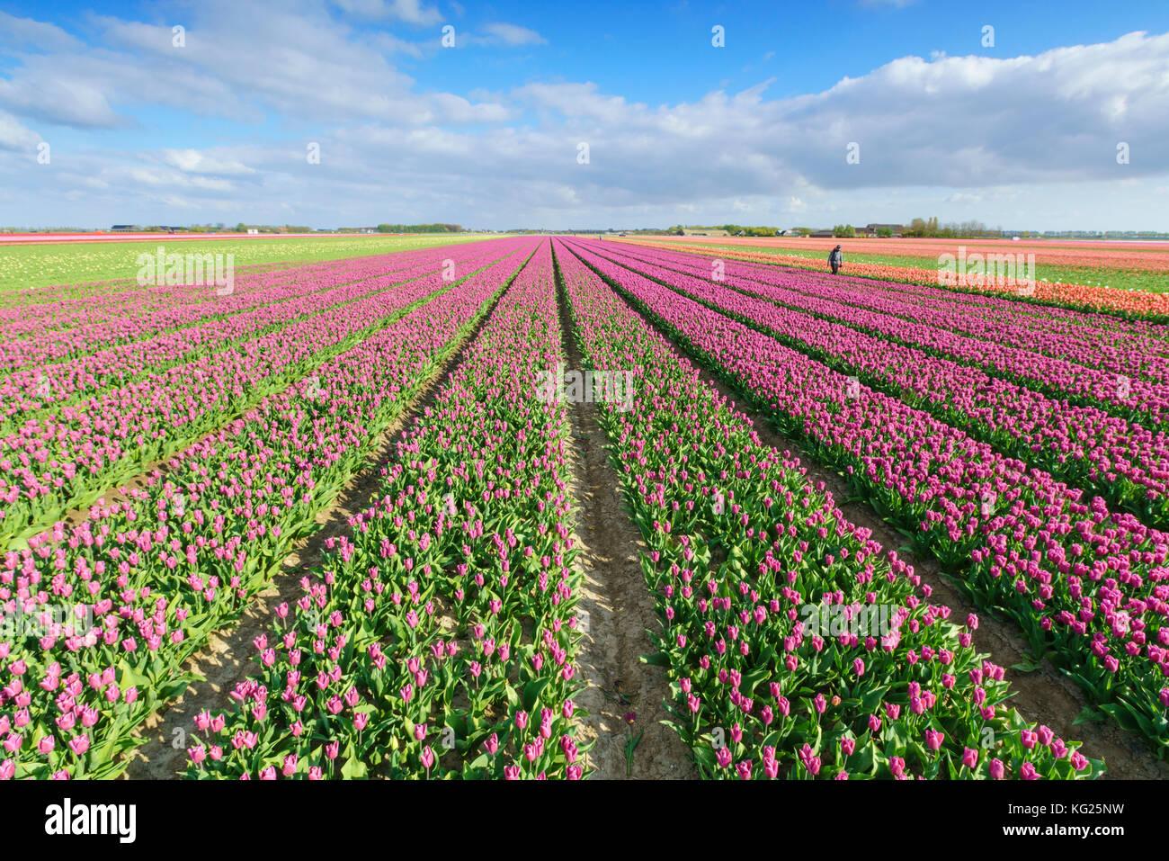 Rosa Tulpen im Feld, yersekendam, Provinz Zeeland, Niederlande, Europa Stockbild