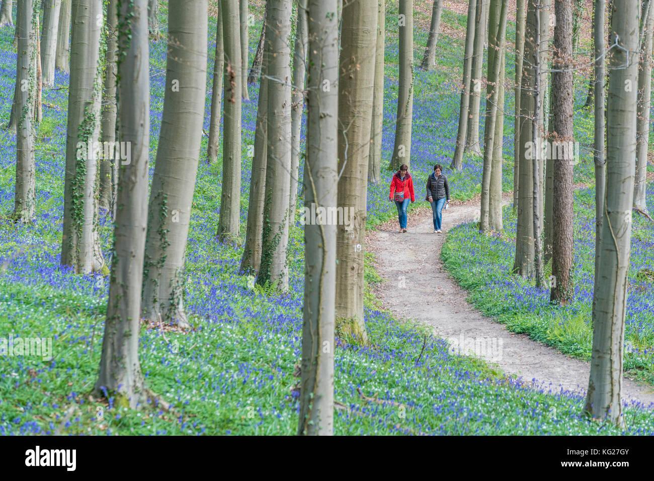 Zwei Menschen zu Fuß auf den Weg in eine Buchenholz mit Bluebell Blumen nur auf den Boden, Halle, Flämisch Stockbild