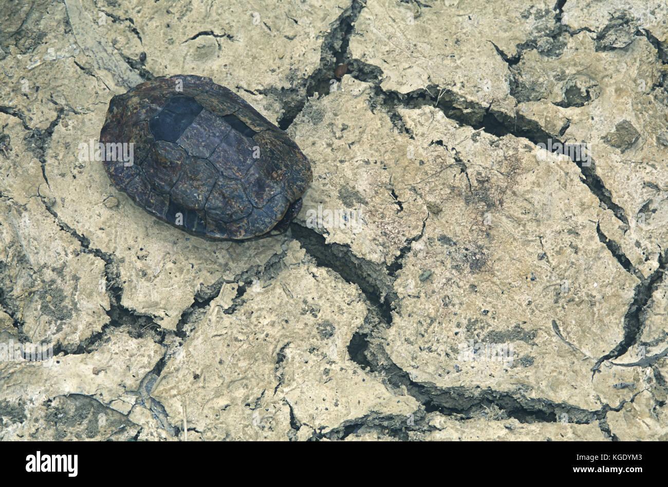 Extreme Trockenheit trocknete der See, wo diese Schildkröte lebt, so dass nur noch ihre Panzer auf die trockene Stockbild