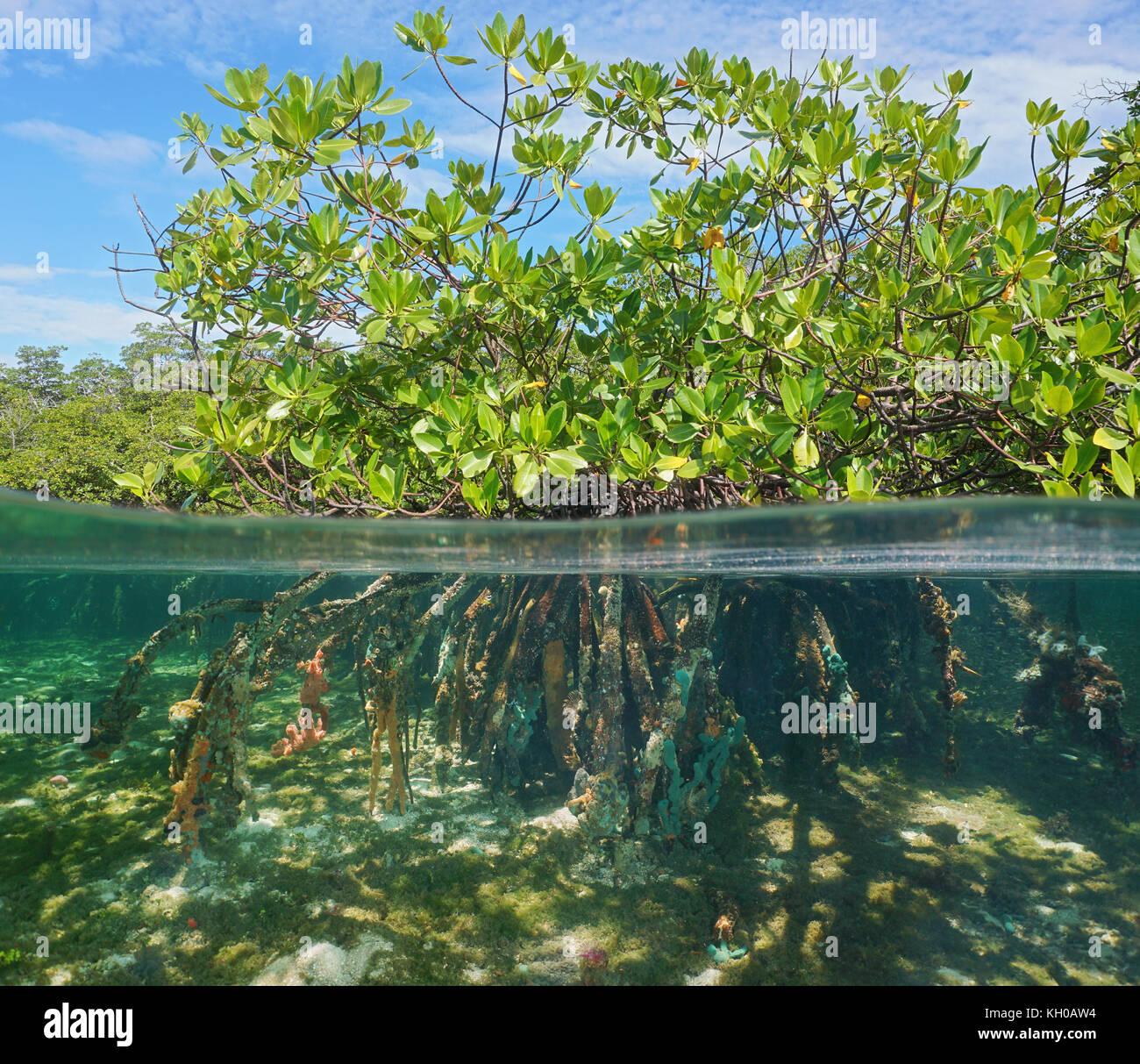 mangrove tree ber und unter wasser gr nes laub oberhalb. Black Bedroom Furniture Sets. Home Design Ideas