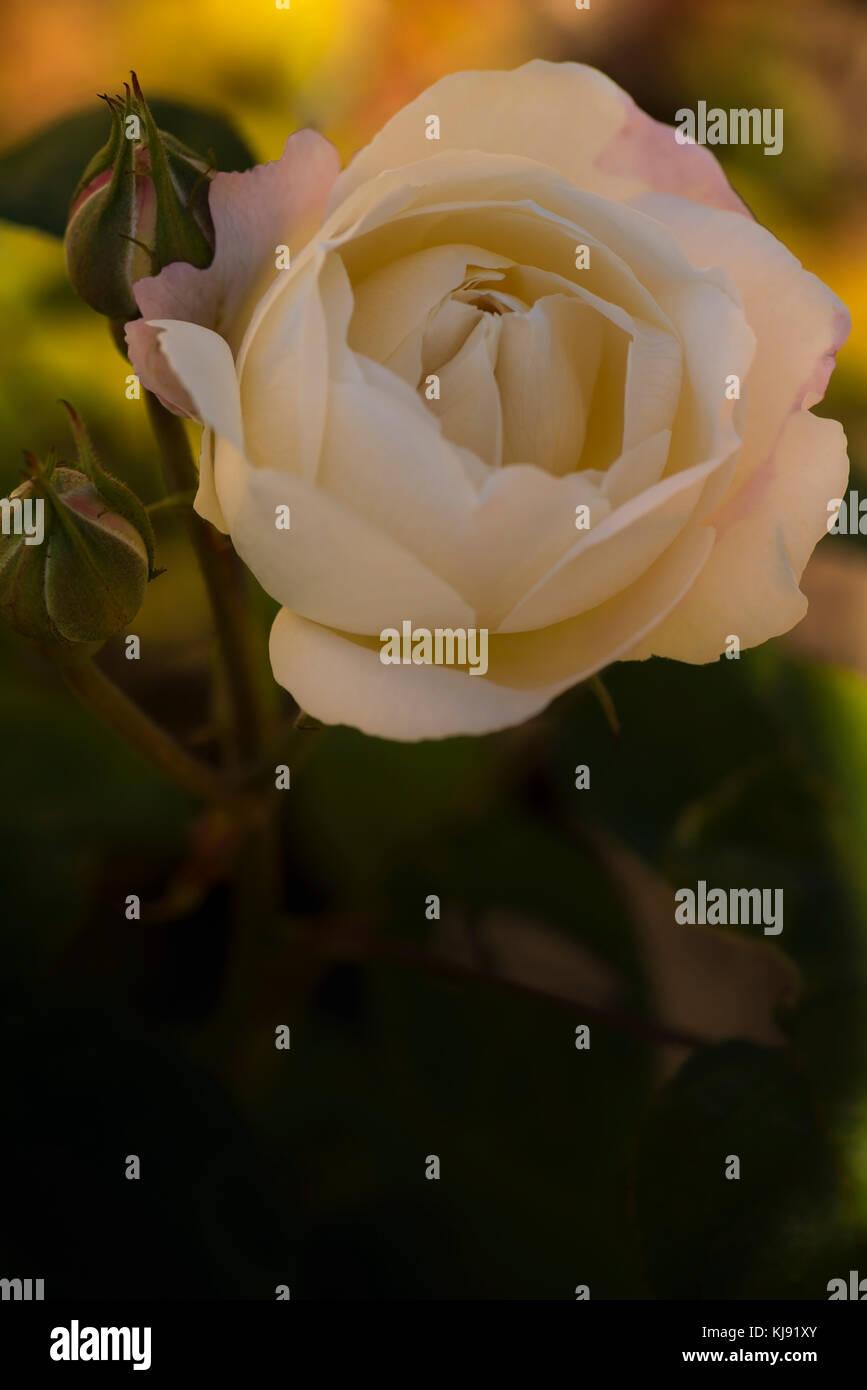 Schöne weiße Rose und rose Buds mit einem nostalgischen und romantischen Blick Stockbild