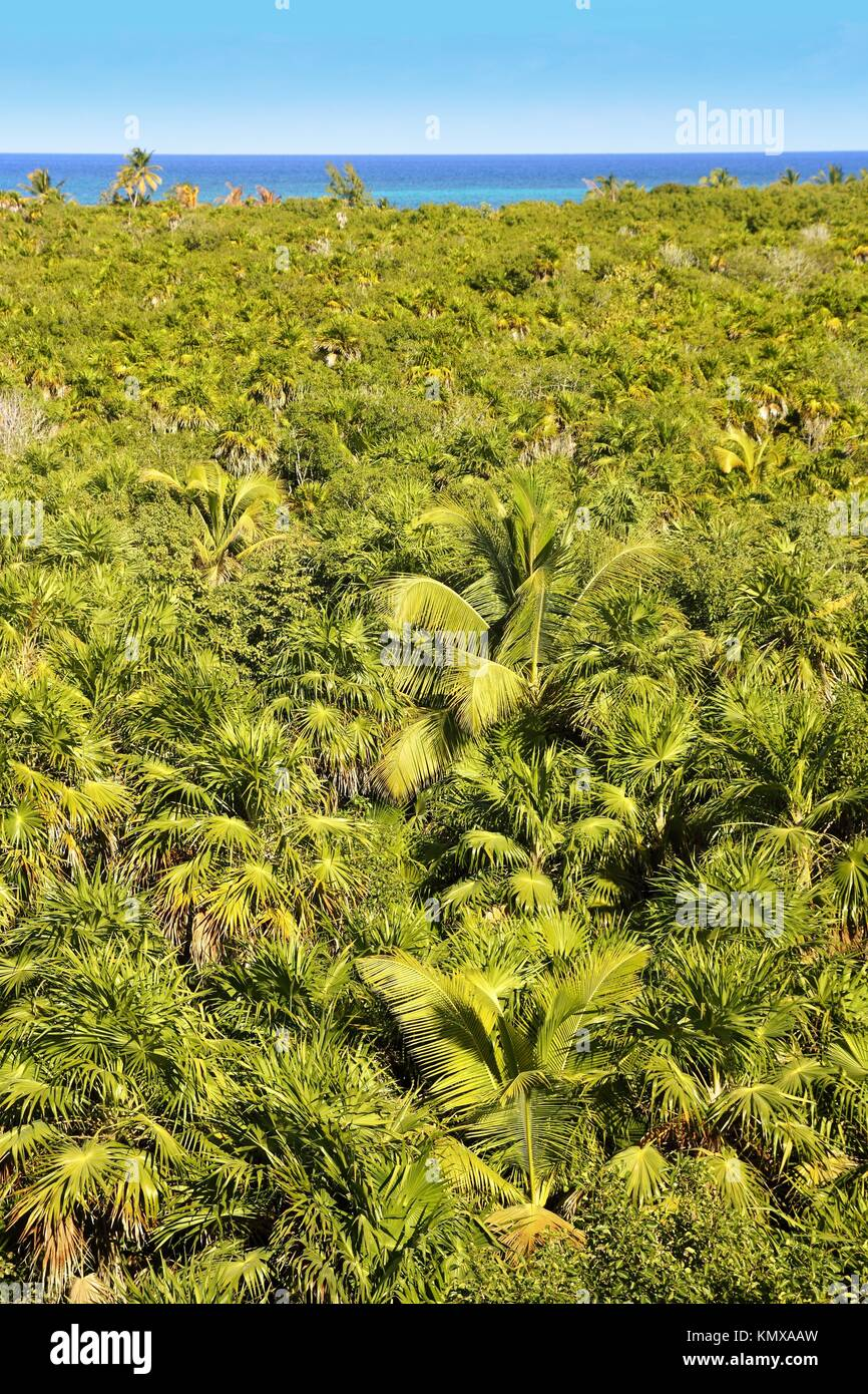 Tropischer palmen baum dschungel in sian kaan in der n he - Wandtattoo dschungel baum ...