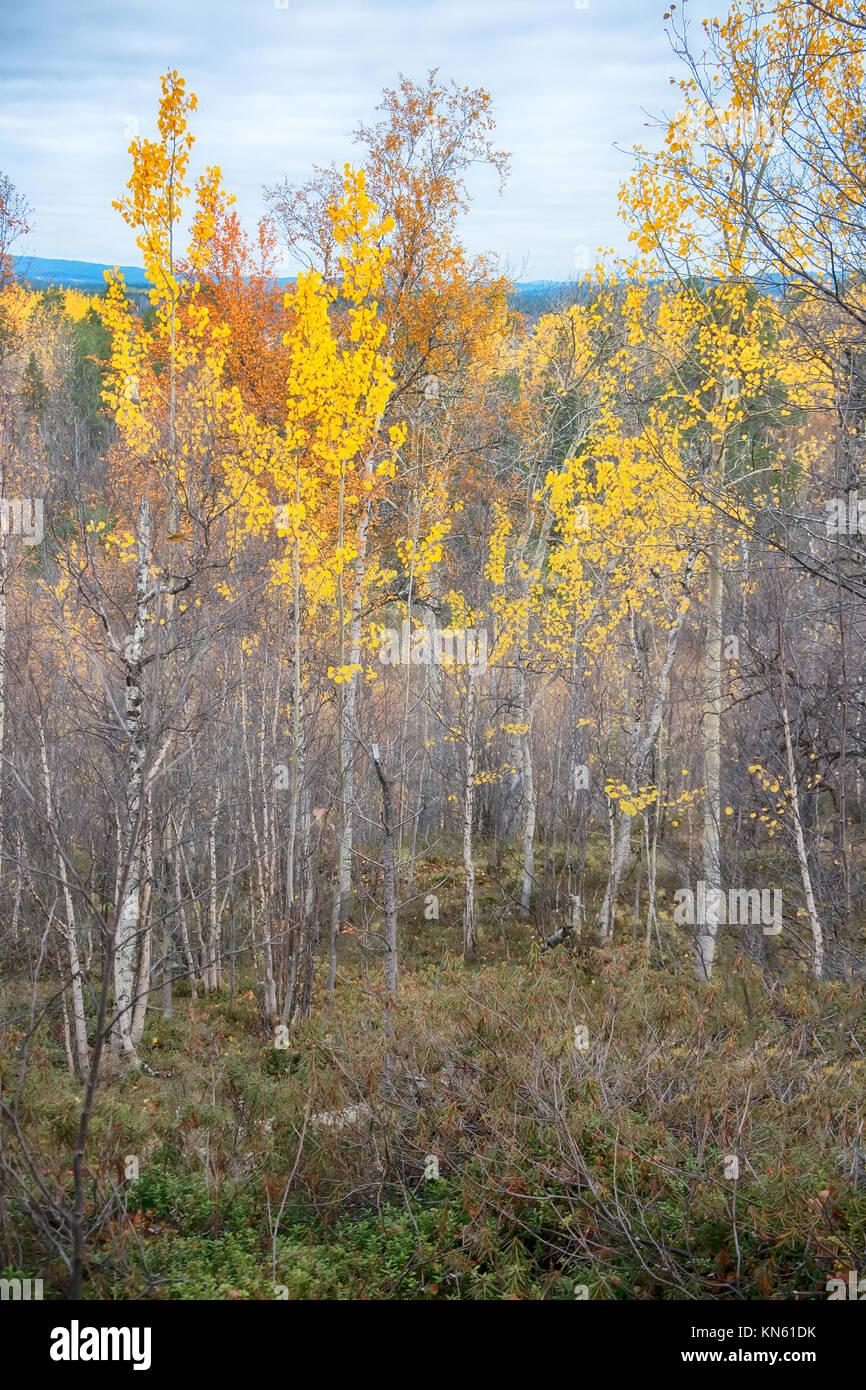 Gelbe Aspen Bäume im nördlichen Wald. Taiga, skandinavischen Halbinsel Stockbild
