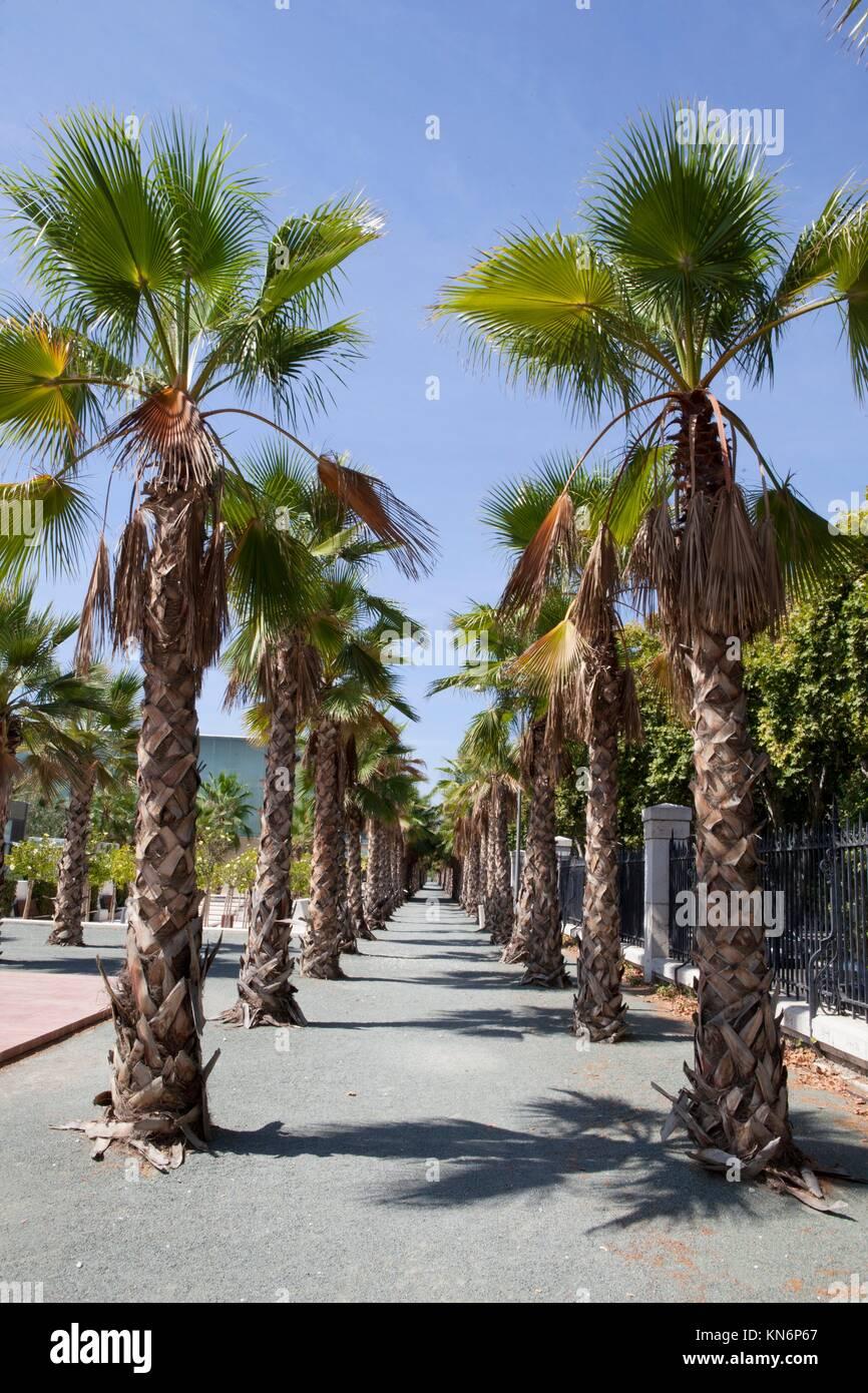 palmen baum esplanade neben malaga main promenade ein. Black Bedroom Furniture Sets. Home Design Ideas