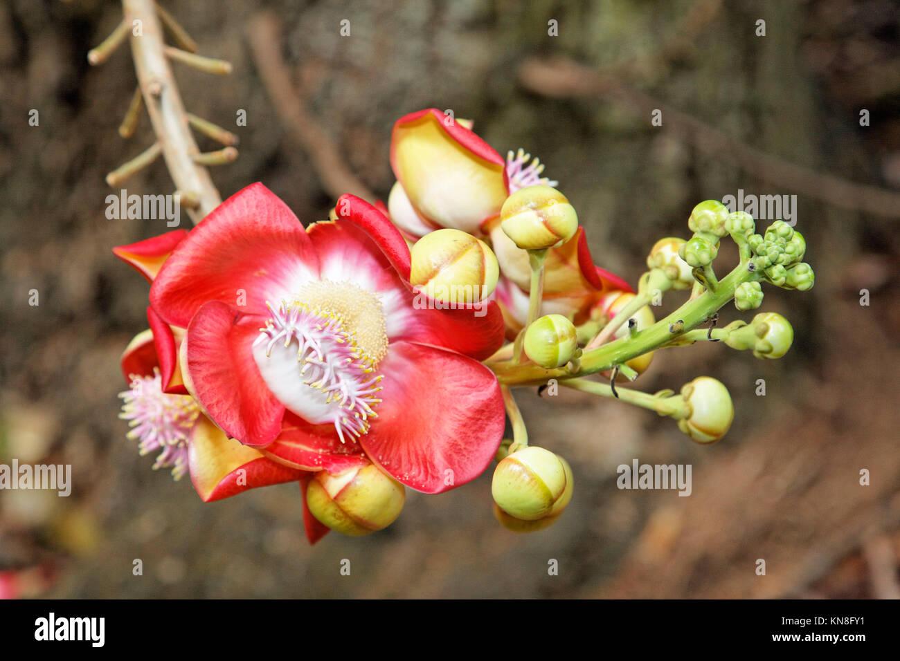 Cannonball Baum Blume, Botanischer Garten, Mahe, Seychellen Stockbild