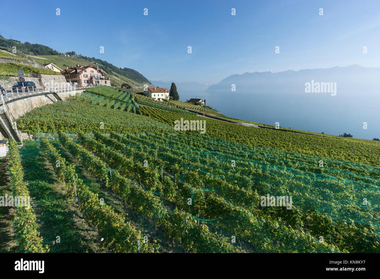 Epesses, Weinberge, Lavaux Region Genfer See, Schweizer Alpen, Schweiz Stockbild
