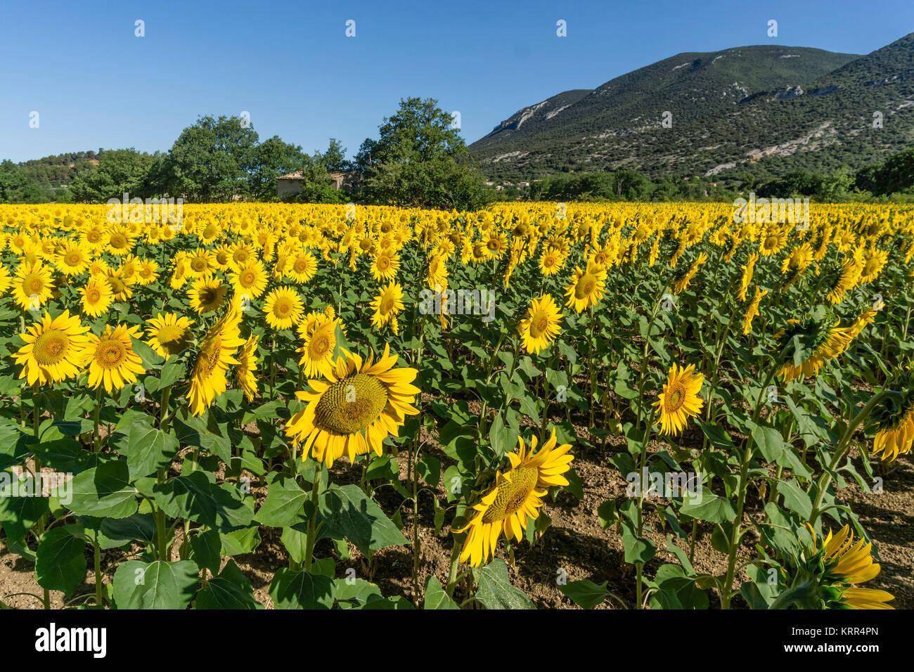 Sonnenblumenfeld in Rustel, Vaucluse Stockbild