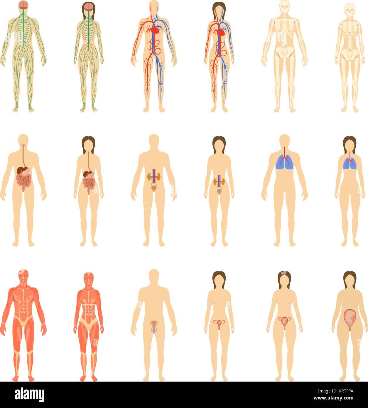 Satz von menschlichen Organen und Systemen des Körpers Vitalität und ...