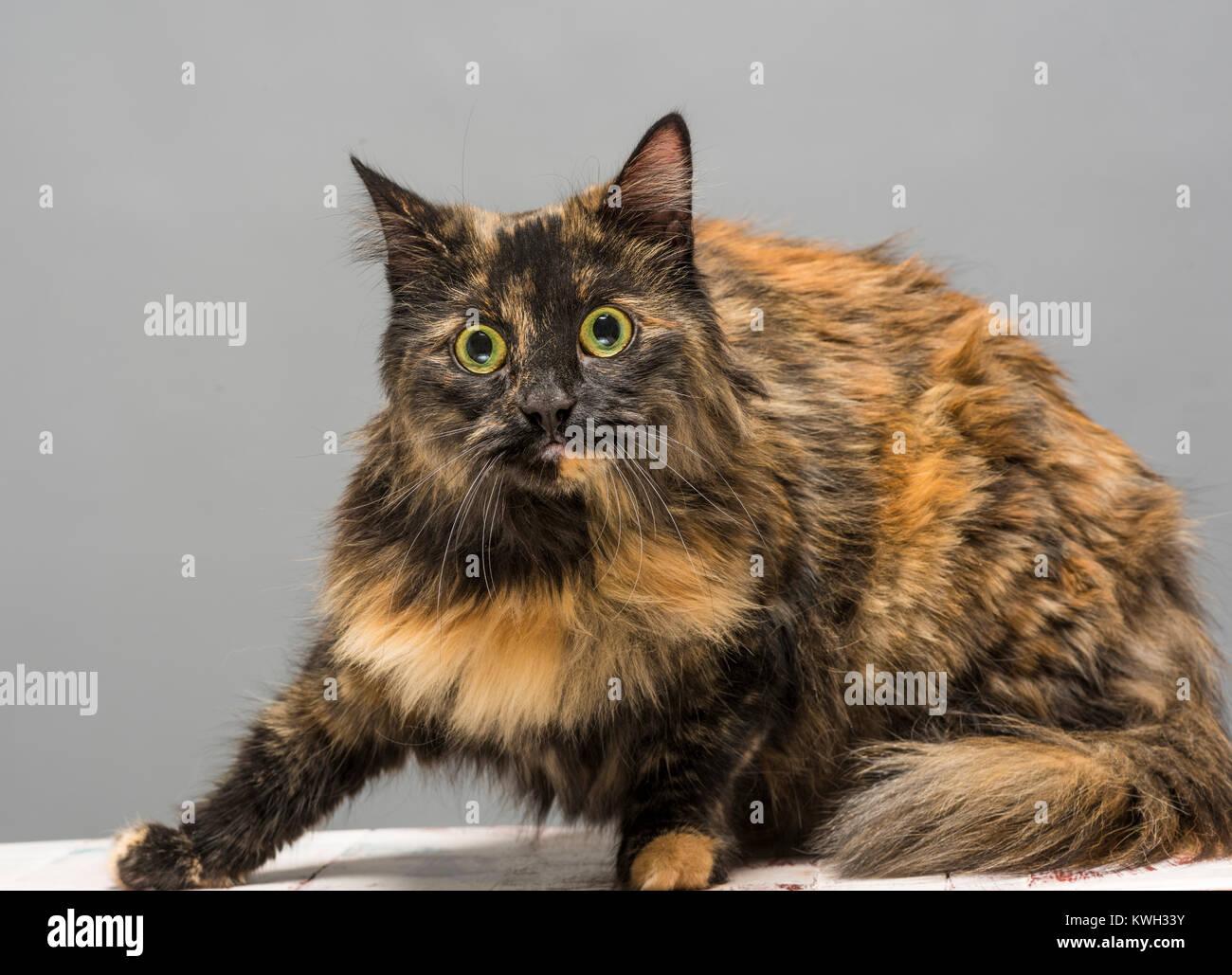 Langhaarige inländischen tabby Cat suchen Alert Stockbild