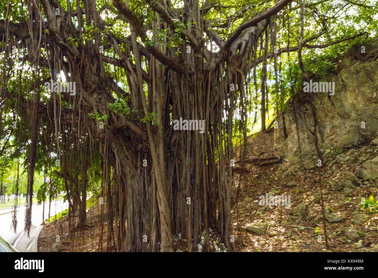 Großer Baum mit Wurzeln in der Luft hängen Stockbild