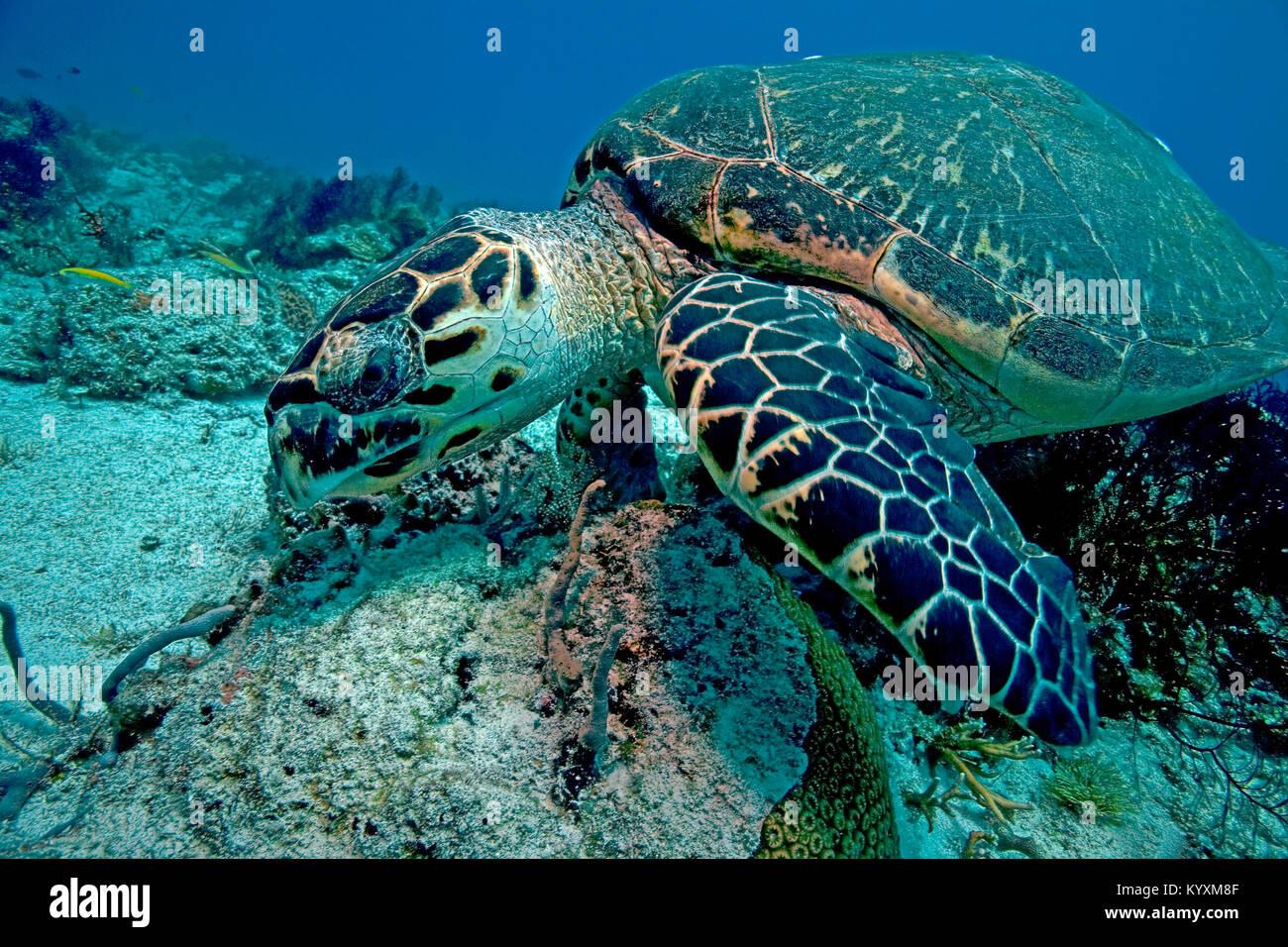 Karettschildkröte (Eretmochelys imbricata), Playa del Carmen, Yucatan, Mexiko, Karibik Stockbild