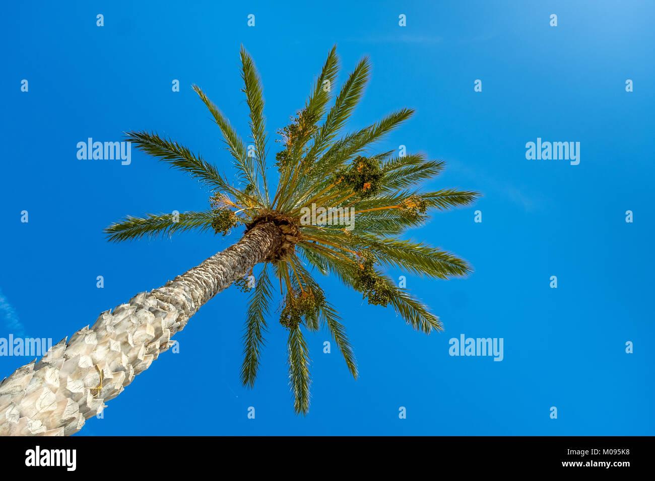 Palm und blauer Himmel, endemische Arten von Palm Phoenix theophrasti, blauer Himmel, Südkreta, Kreta, Griechenland, Stockbild