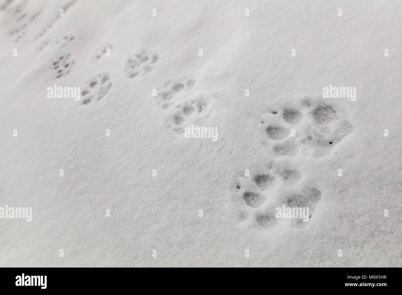 Wolfsspuren Schnee