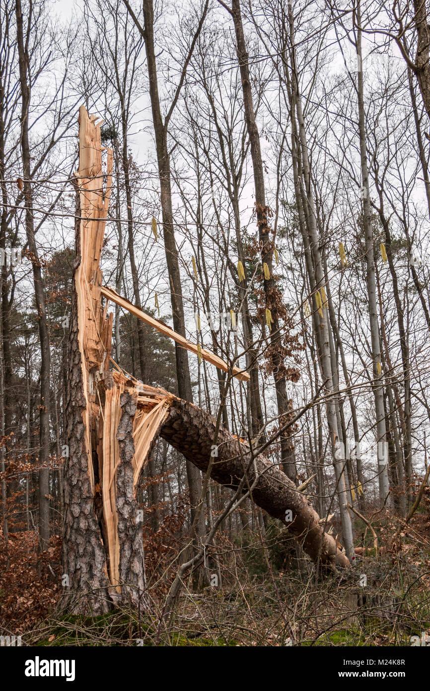 Sturm beschädigt Baum in der Mitte des Waldes Stockbild
