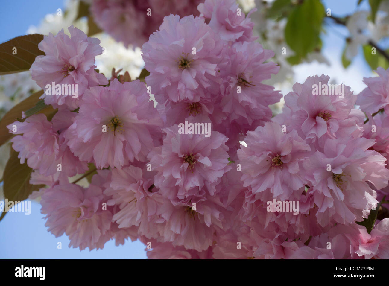 Kirschbluete Stockfotos Amp Kirschbluete Bilder Alamy