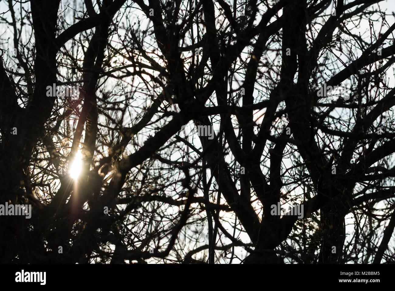 Sun durch Zweige Leuchten in Silhouette auf Morgen, Dorset, Großbritannien Stockbild