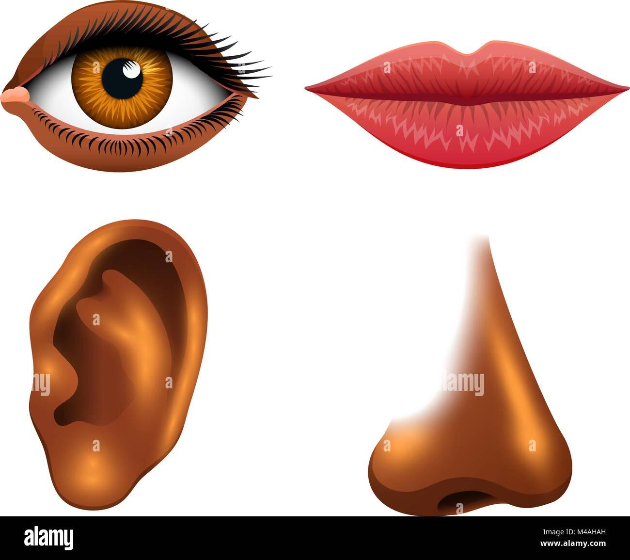 Die menschliche Biologie, Sinnesorgane, Anatomie Illustration ...