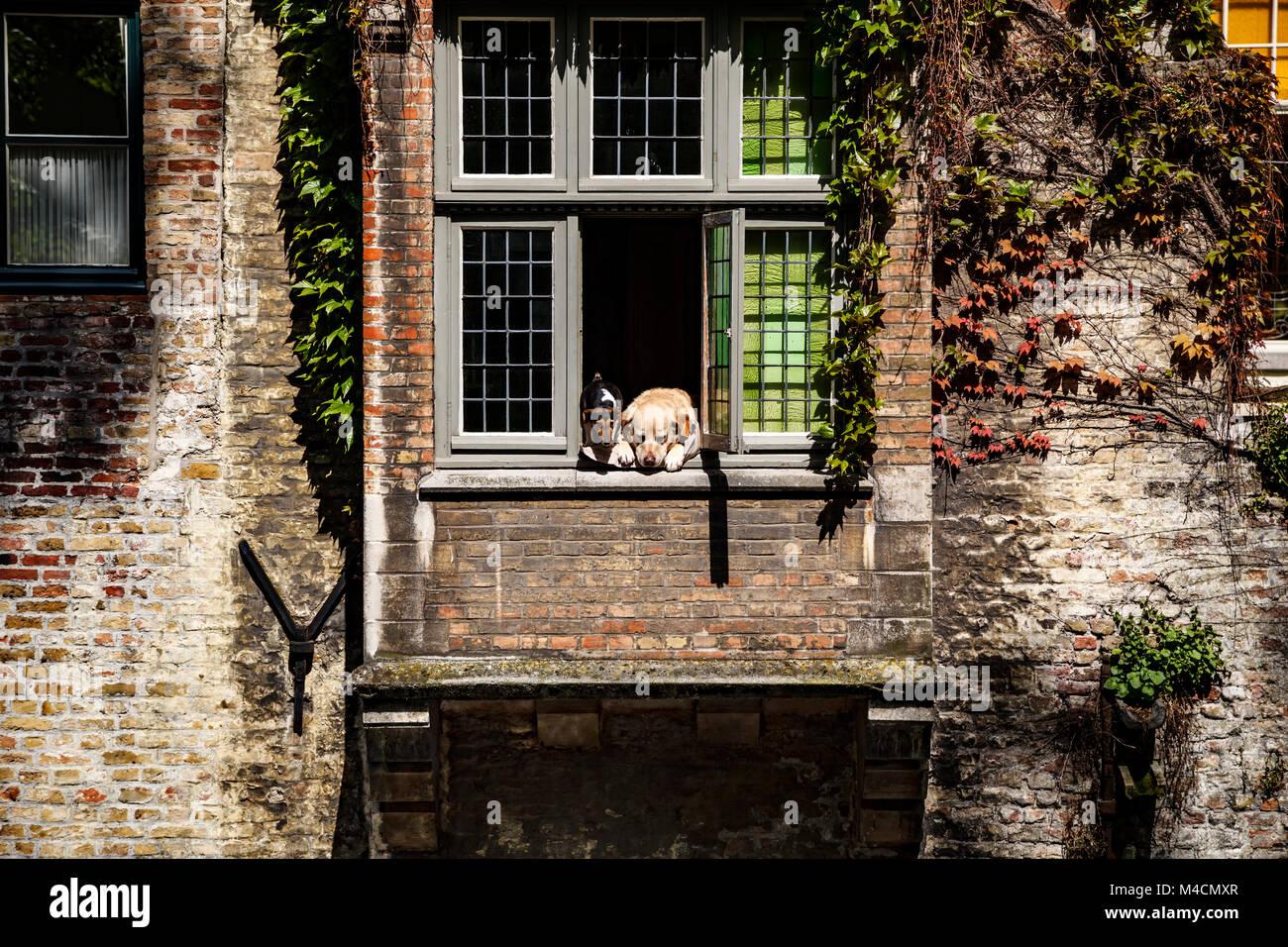 """""""Fidel"""" der Hund (golden Lab) und Freund, Fenster, Brügge, Belgien Stockbild"""