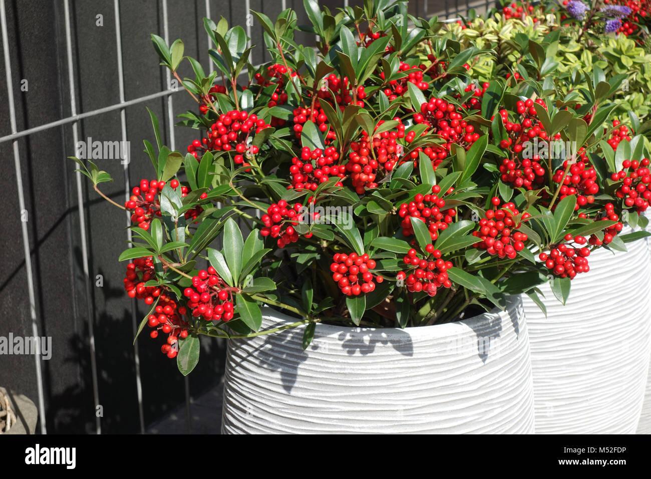skimmia japonica flowers stockfotos skimmia japonica flowers bilder alamy. Black Bedroom Furniture Sets. Home Design Ideas