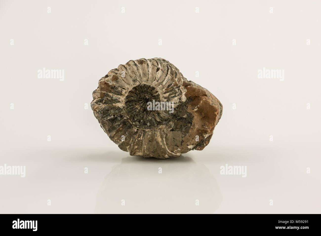 Alte fossile Schnecke und weißem Hintergrund Stockbild