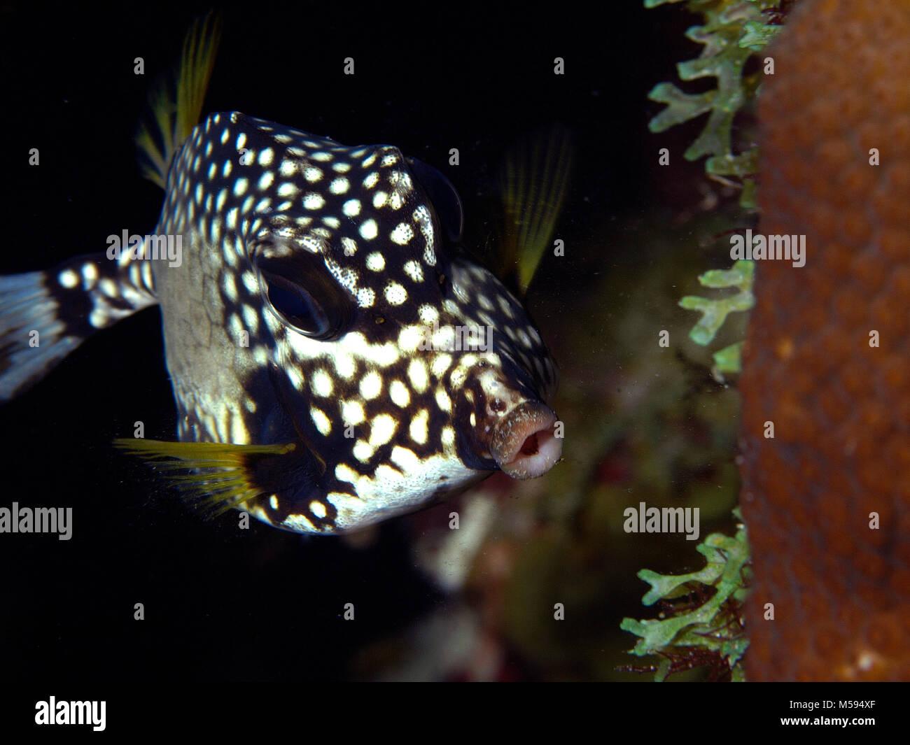 Glatte Kofferfische, Perlen-Kofferfisch (Lactophrys Triqueter), Atlantik, Niederländische Antillen Stockbild
