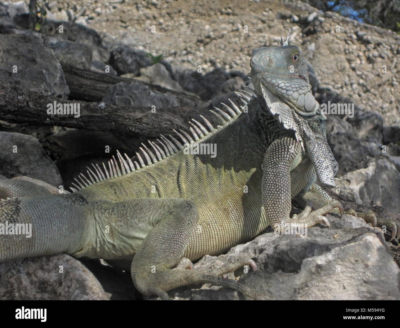 Grüner Leguan bei Bonaire erfasst Picknick Stockbild