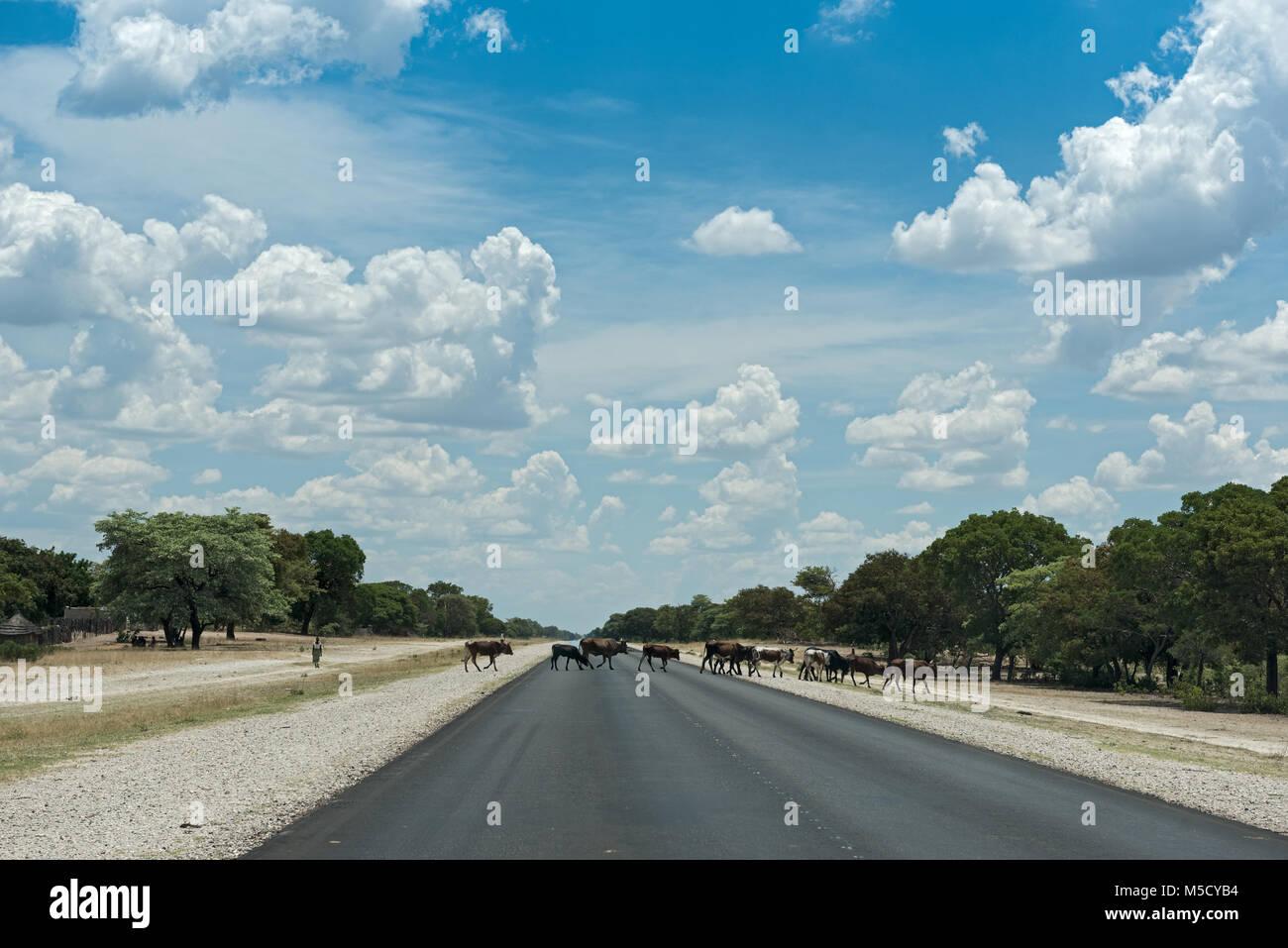Eine kleine Herde von Kühen kreuzt die B8 Straße südlich von Rundu, Namibia Stockbild