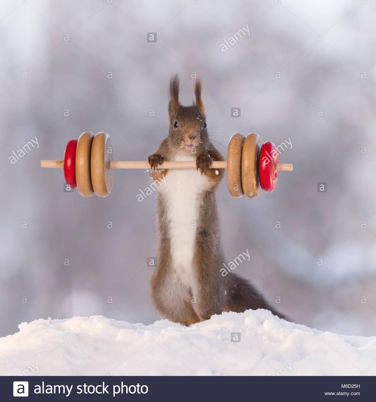 Eichhörnchen hält ein Gewicht im Schnee Stockbild