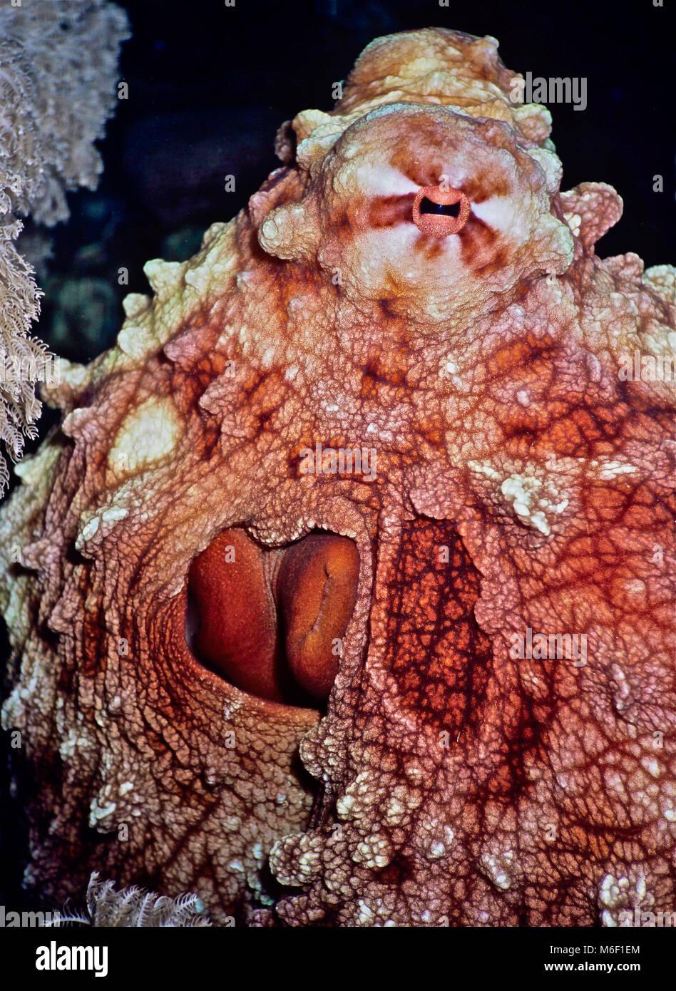 Groß Realistische Oktopus Färbung Seite Bilder - Beispiel ...