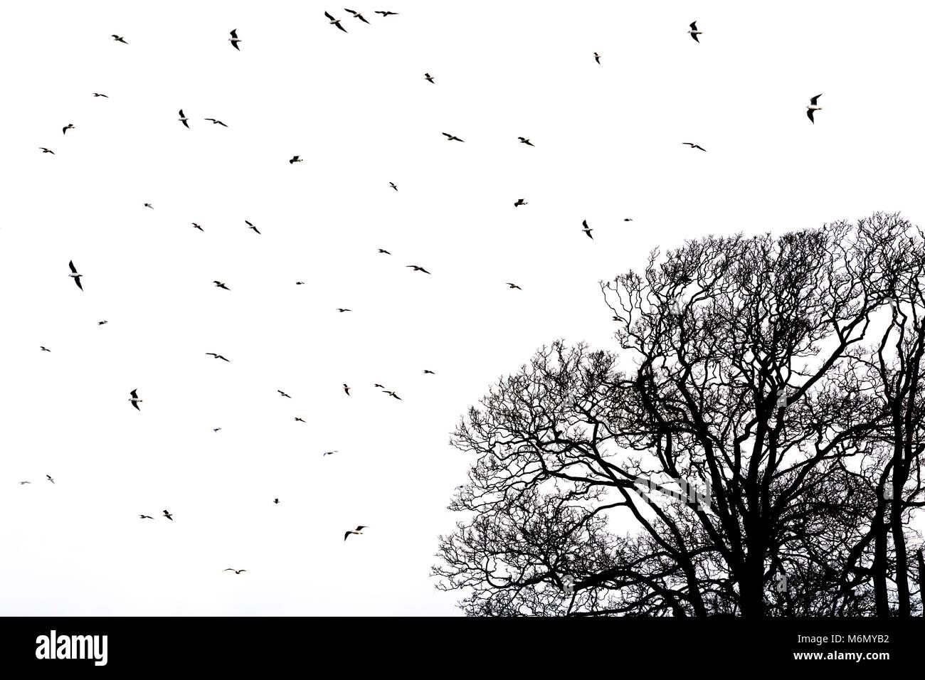 Meer Vögel über einen blattlosen Baum gegen einen weißen Himmel fliegen. Monochrom. Stockbild