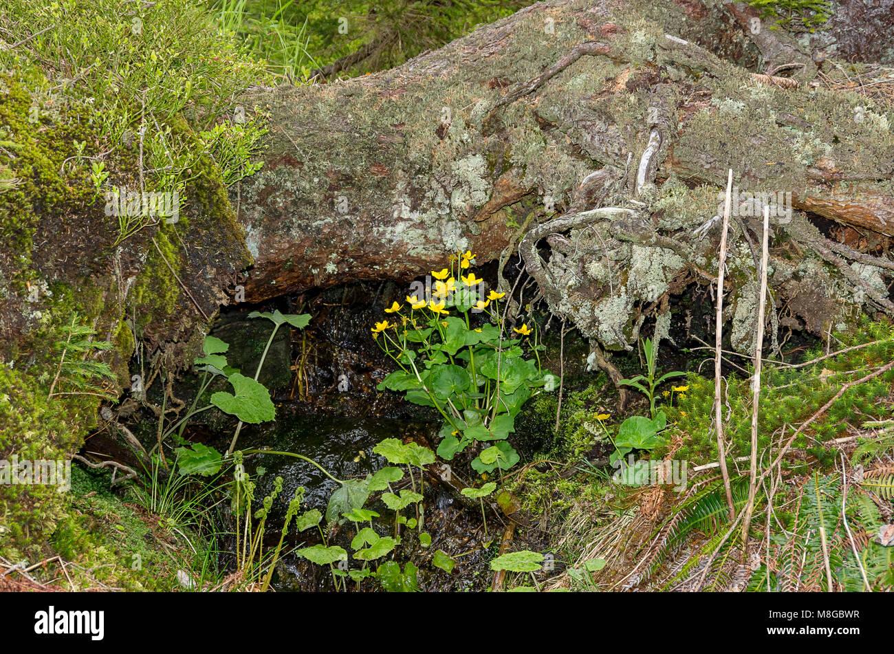 Marsh ringelblumen an einem kleinen Wasserlauf im Bereich der Großer Arber, Bayerischer Wald, Bayern, Deutschland. Stockbild