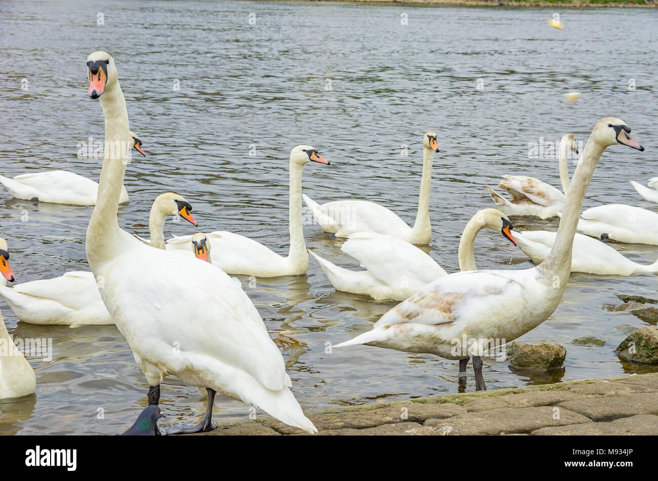 Höckerschwäne werden an den Ufern der Elbe in Dresden-Blasewitz, Sachsen, Deutschland eingespeist. Stockbild