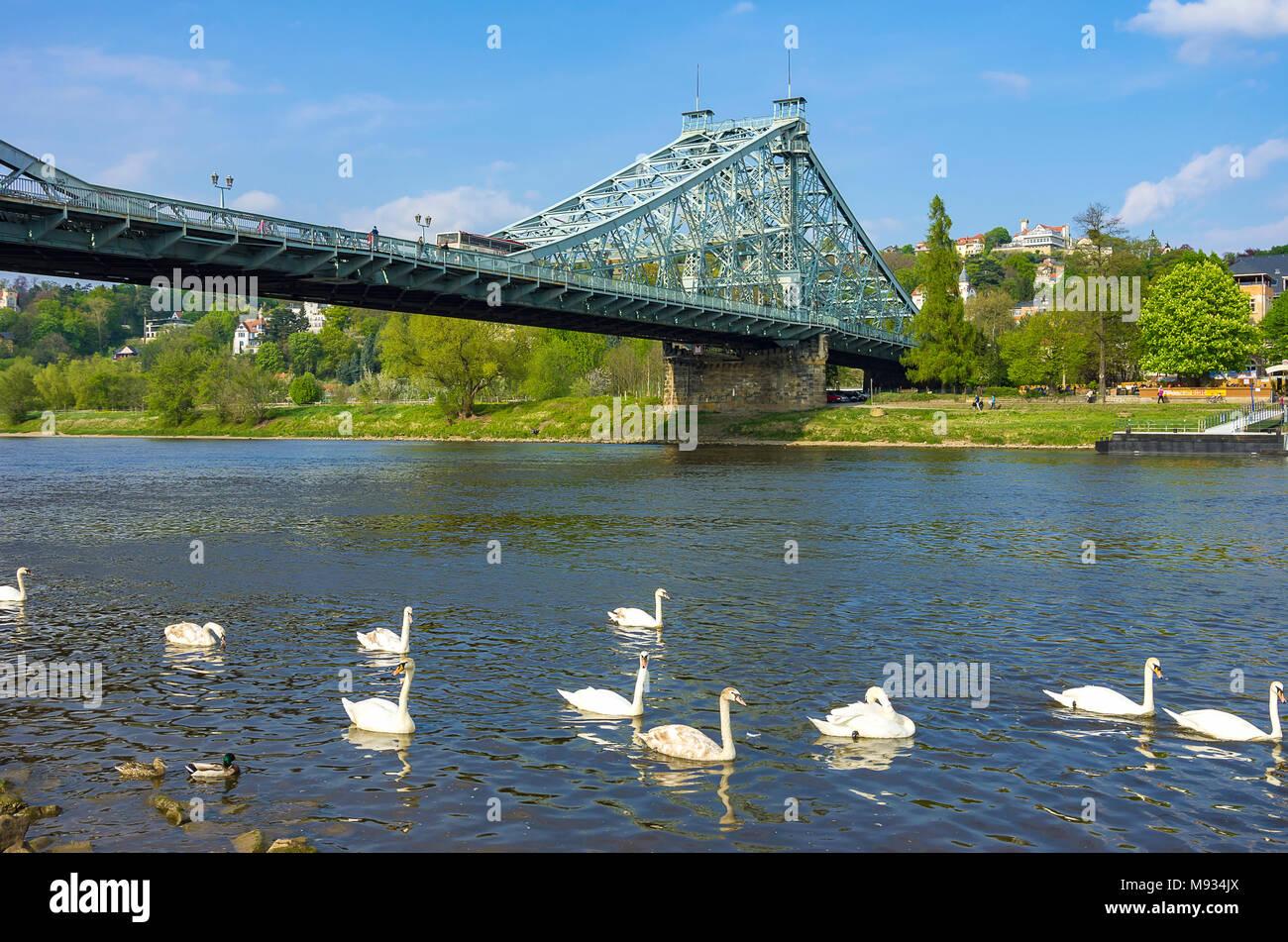 Das Blaue Wunder Brücke von der Stadtteil Blasewitz und mit weißen Schwänen, die auf der Elbe, Dresden, Sachsen, Deutschland frolic gesehen. Stockbild