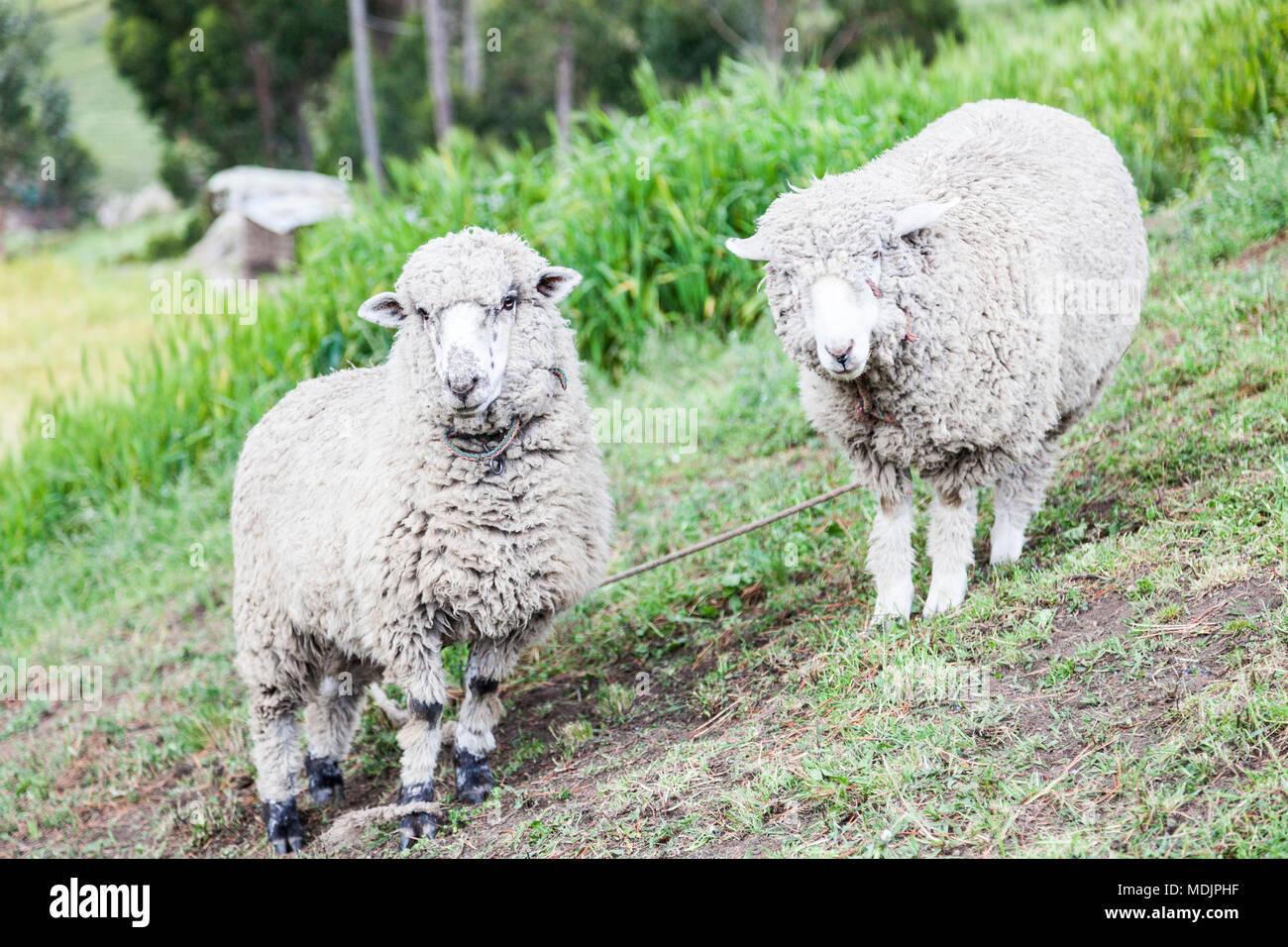 Schafe, die für Wolle und Fleisch um Zumbahua Provinz Cotopaxi, Ecuador Stockbild