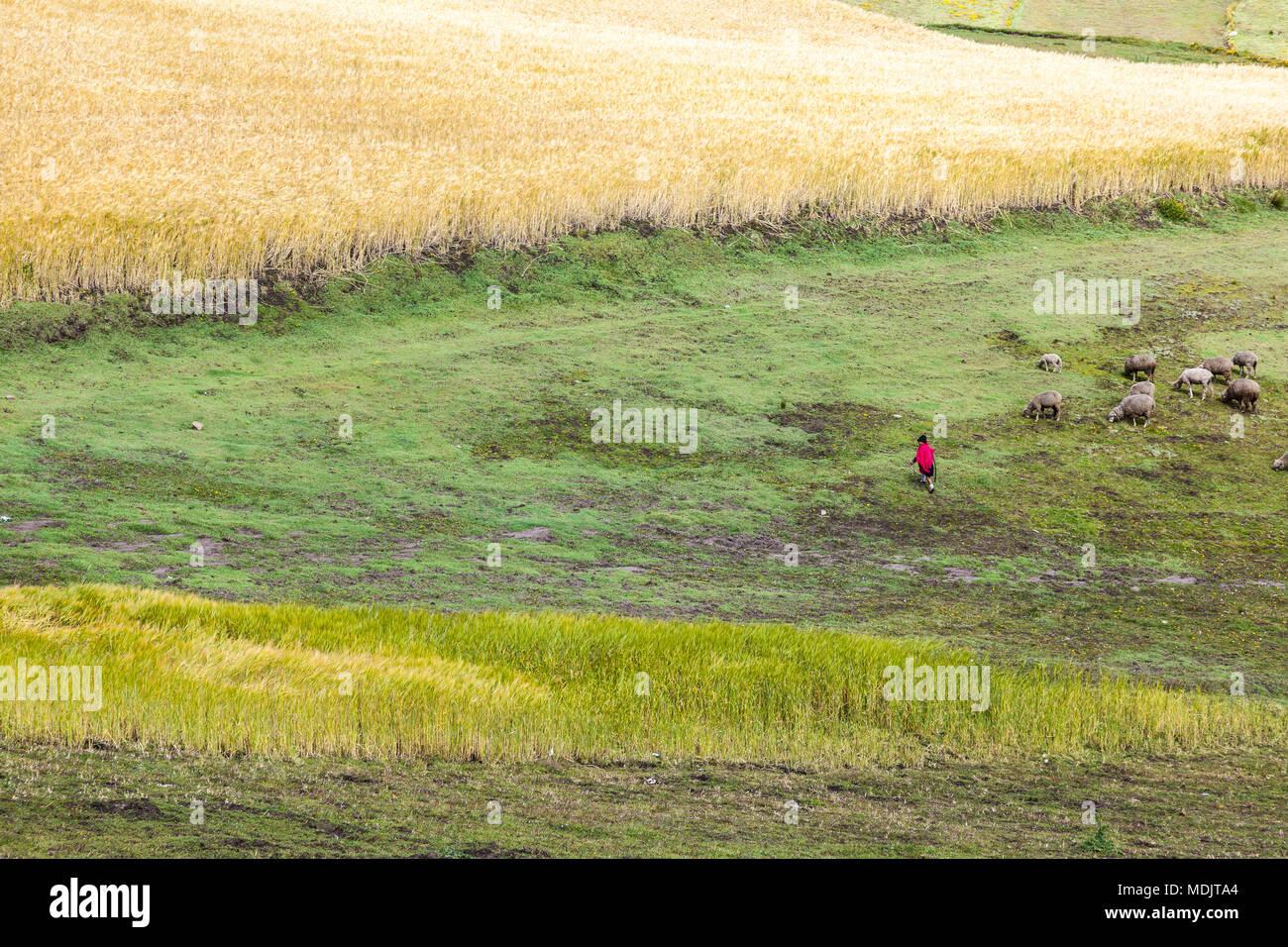 Gerste um Zumbahua, und die Landwirte ihre Tiere Provinz Cotopaxi, Ecuador tendenziell Stockbild
